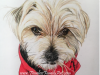 Yorkie Colored Pencil Portrait