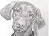 Vizsla Dog Pencil Portrait Micheal Kitchens 02132016