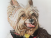 Yorkie Colored Pencil Drawing for Laura C by Mike Kitchens 2016