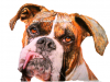 Boxer Dog Portrait Drawing