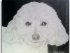 white-poodle-pencil-drawing-colby-mushrush-mike-kitchens-2013